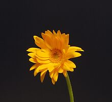 Elegant Yellow Gerbera Daisy by hummingbirds