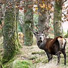 Red deer stag in open woodland by Gary Eason