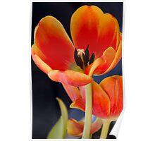 Orange tulip petals Poster