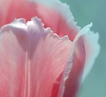 Tulip Edge by Elaine  Manley