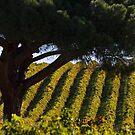 Sunlit Vines by KathyT