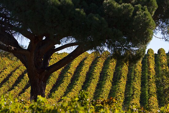 Sunlit Vines by KathyT