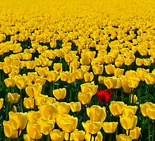 One Among Many - Skagit Valley Tulip Festival by Mark Heller