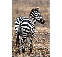 Plains Zebra,  Serengeti National Park, Tanzania.  Photographic Print