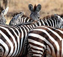 Plains Zebra,  Serengeti National Park, Tanzania.  by Carole-Anne