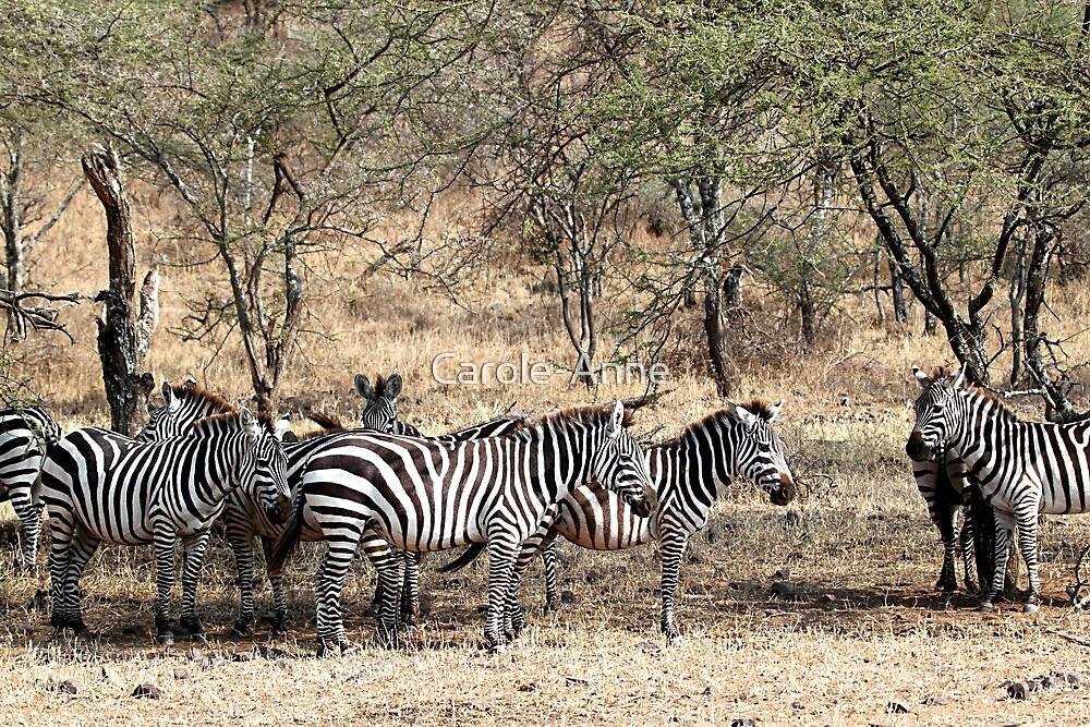 Plains Zebra,  Serengeti National Park, Tanzania by Carole-Anne