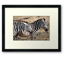 Plains Zebra,  Serengeti National Park, Tanzania  Framed Print