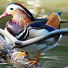 Male mandarin duck by loiteke