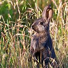 Brown Bunny by Randall Ingalls