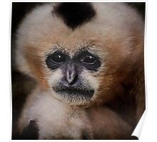 White Cheeked Gibbon Poster