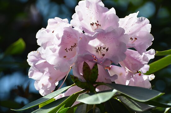 Pleasantly Pink Rhodo for Prince William & His Bride Kate... by Carol Clifford