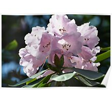 Pleasantly Pink Rhodo for Prince William & His Bride Kate... Poster