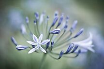 Agapanthus Blues by Zach Pezzillo