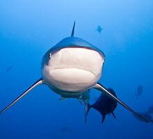 Oceanic White Tip - Beqa Lagoon 2011 by Fatfish Photography