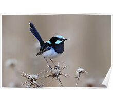 Superb Fairy Wren - Glen Davis in the Capertee Valley Poster