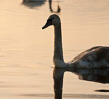 Swan reflection by Skye Hohmann