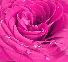 Pink rose by SIR13