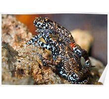 Tusked Frogs (Adelotus brevis) Poster