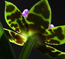 orchid lit from behind by bigzed
