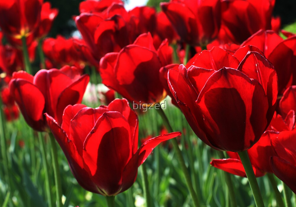red tulips dancing in the sun by bigzed