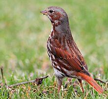 On The Lookout / Fox Sparrow by Gary Fairhead