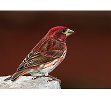 Purple Finch On Red Photographic Print