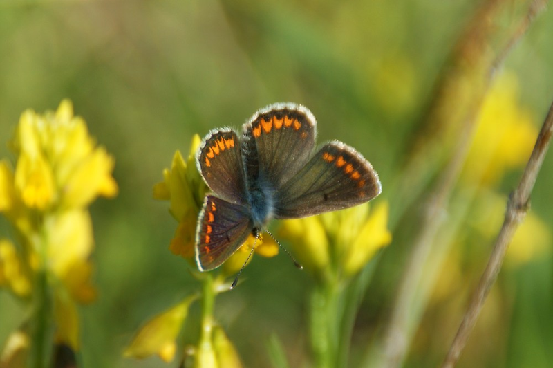Brown Argus by marens