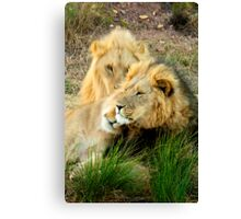 Poignant leader - Lion, South Africa Canvas Print