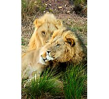 Poignant leader - Lion, South Africa Photographic Print