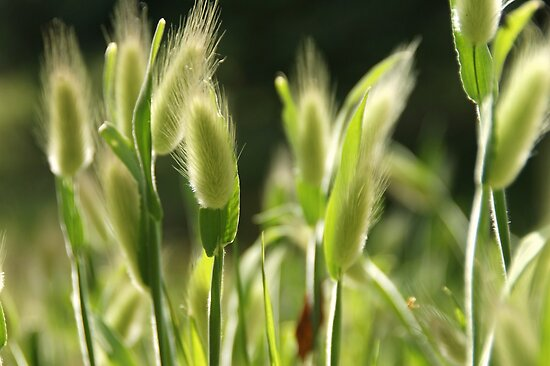 Hare's-Tail Grass by marens