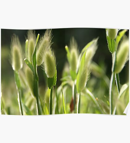 Hare's-Tail Grass Poster