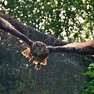 swooping eagle owl by Stephen Frost