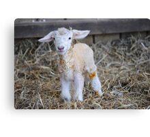 New Born Lamb Canvas Print