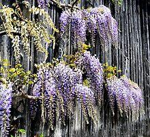 Spring wisteria  by Francesco Malpensi