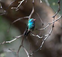 Broad Billed Hummingbird by stemple2011