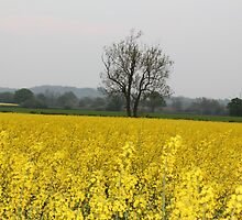 Oil seed rape by Pauline-W
