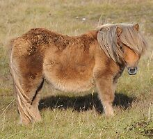 Shetland Pony by James1980