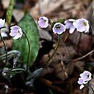 Hepatica nobilis, light pink/mauve by jules572