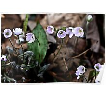 Hepatica nobilis, light pink/mauve Poster