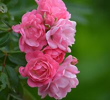 Pink Roses | Westhampton Beach, New York by © Sophie W. Smith