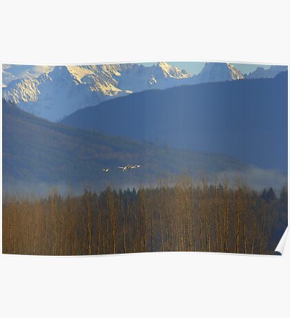 Tundra Swans, Skagit Washington Poster