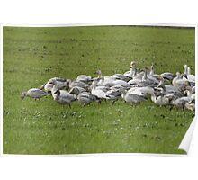 Snow Geese Skagit, Washington Poster