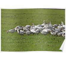 Snow Geese Skagit, Washington Poster