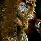 Langur peering at me by alan shapiro