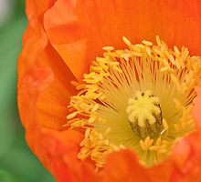 Orange California Poppy by Briar Richard