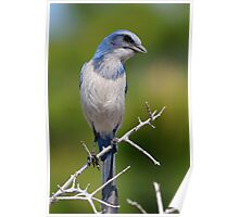 Inqisitive Look- Florida Scrub-jay Poster