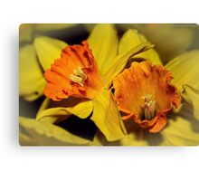Gold and Gorgeous Daffodils Canvas Print