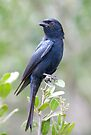 Fork Tailed Drongo by Michael  Moss