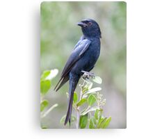 Fork Tailed Drongo Canvas Print