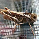 Hey Jiminy, It's a Cricket! by DEB CAMERON